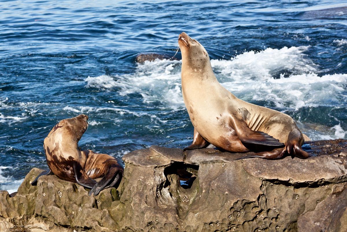 heulende Seehunde auf den Klippen bei San Diego