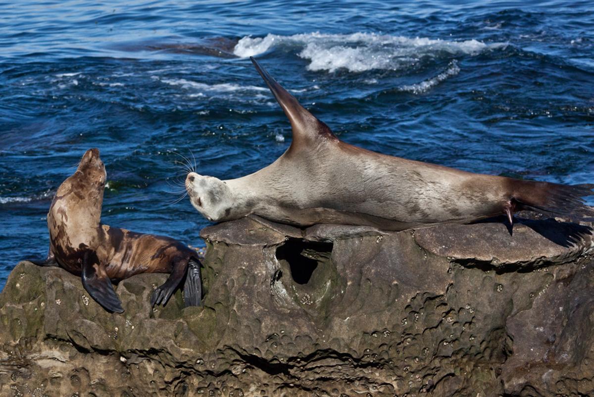 Seehunde auf den Klippen bei San Diego