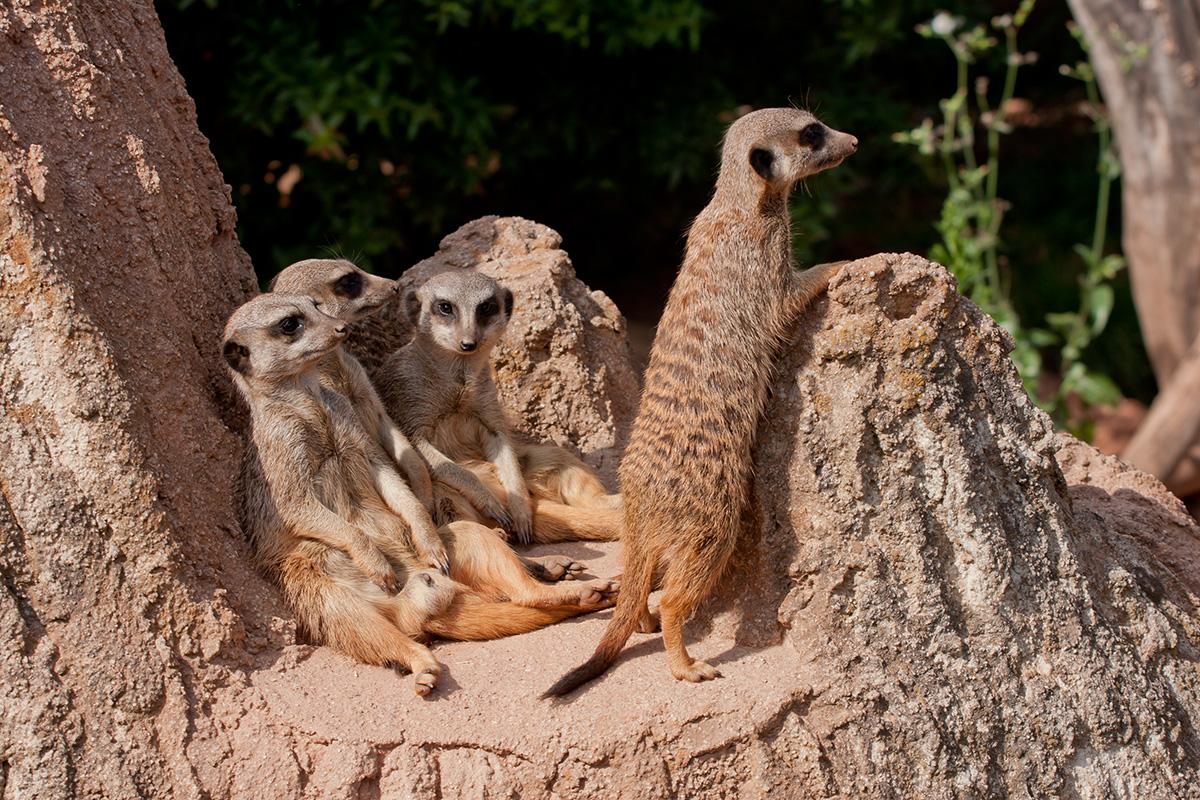 Erdmännchengruppe im Zoo Leipzig