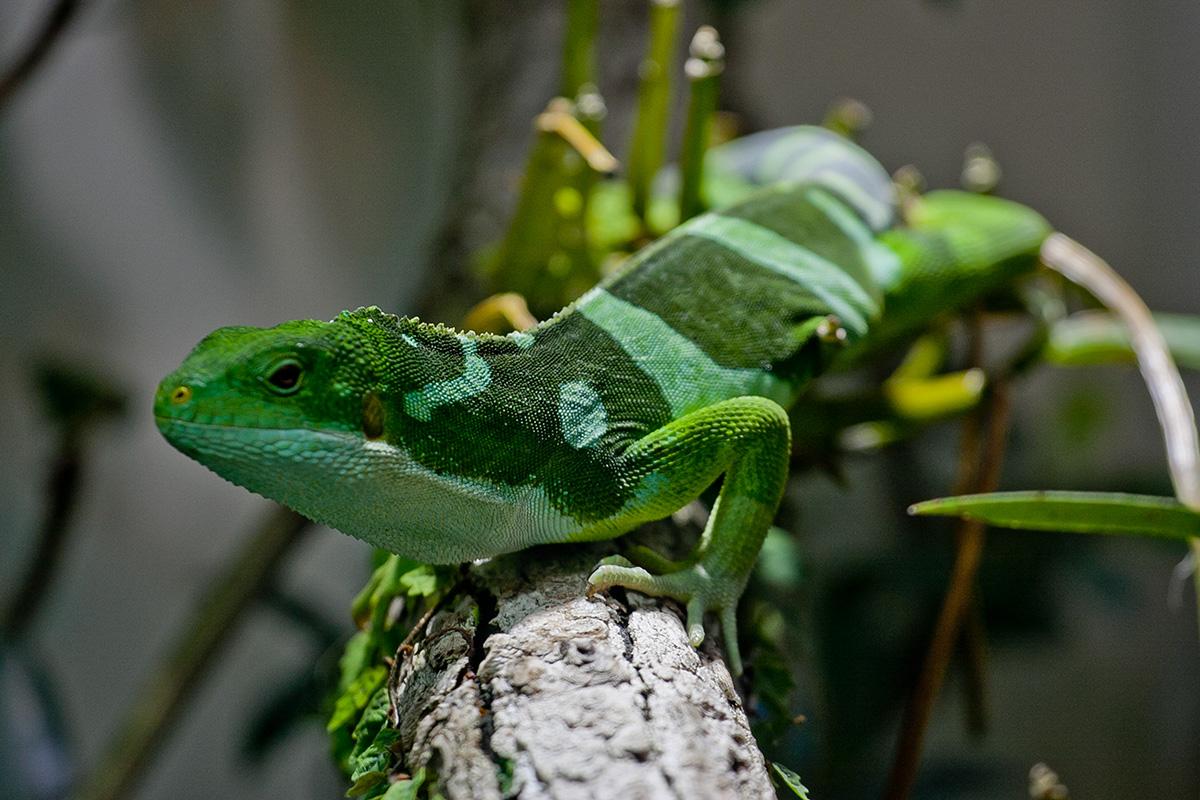 Grüne Echse