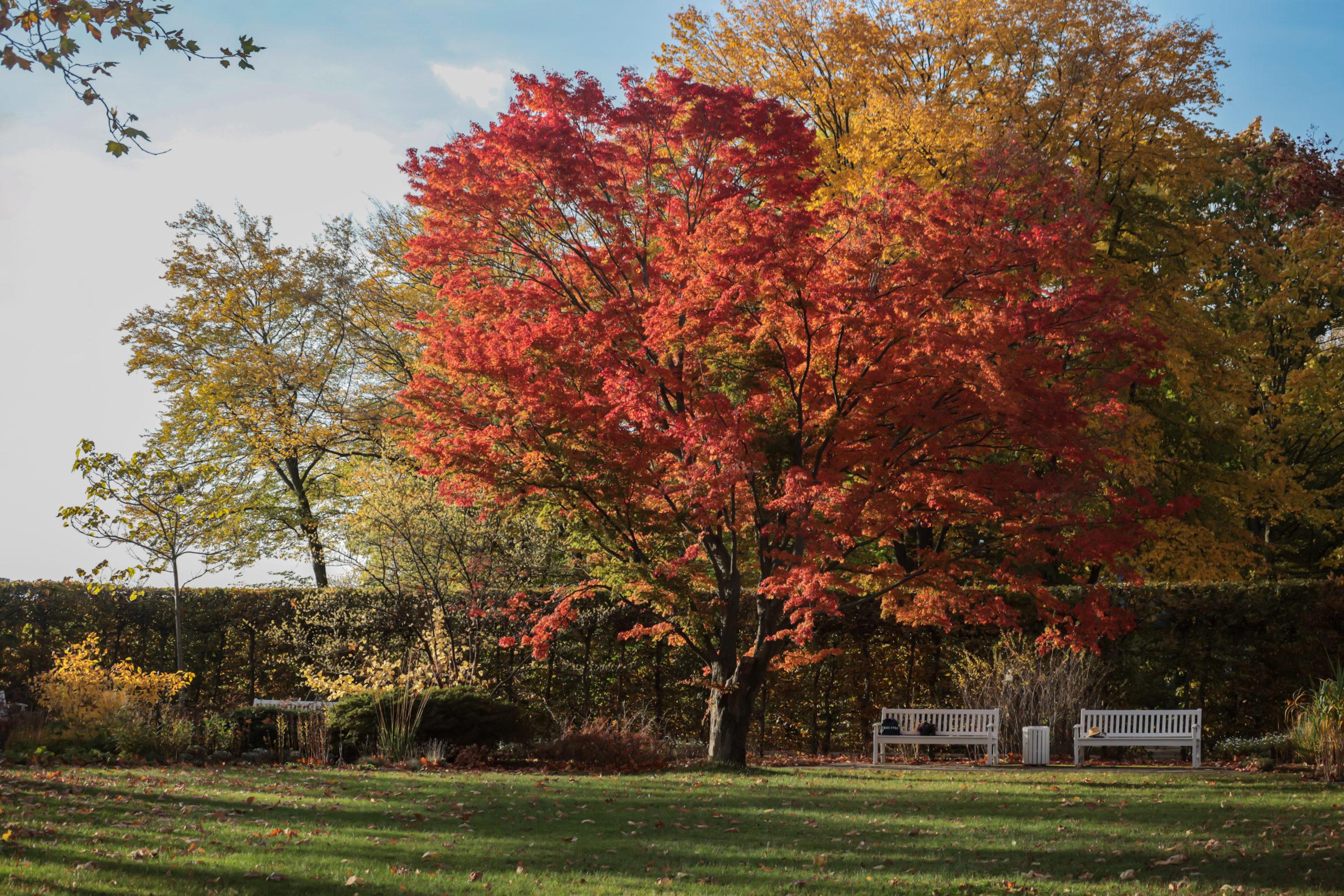 Rotgefärbter Baum im Herbst