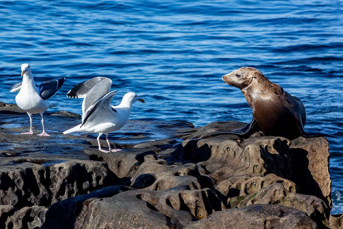 San Diego La Jolla Felsen Seagull Robbe