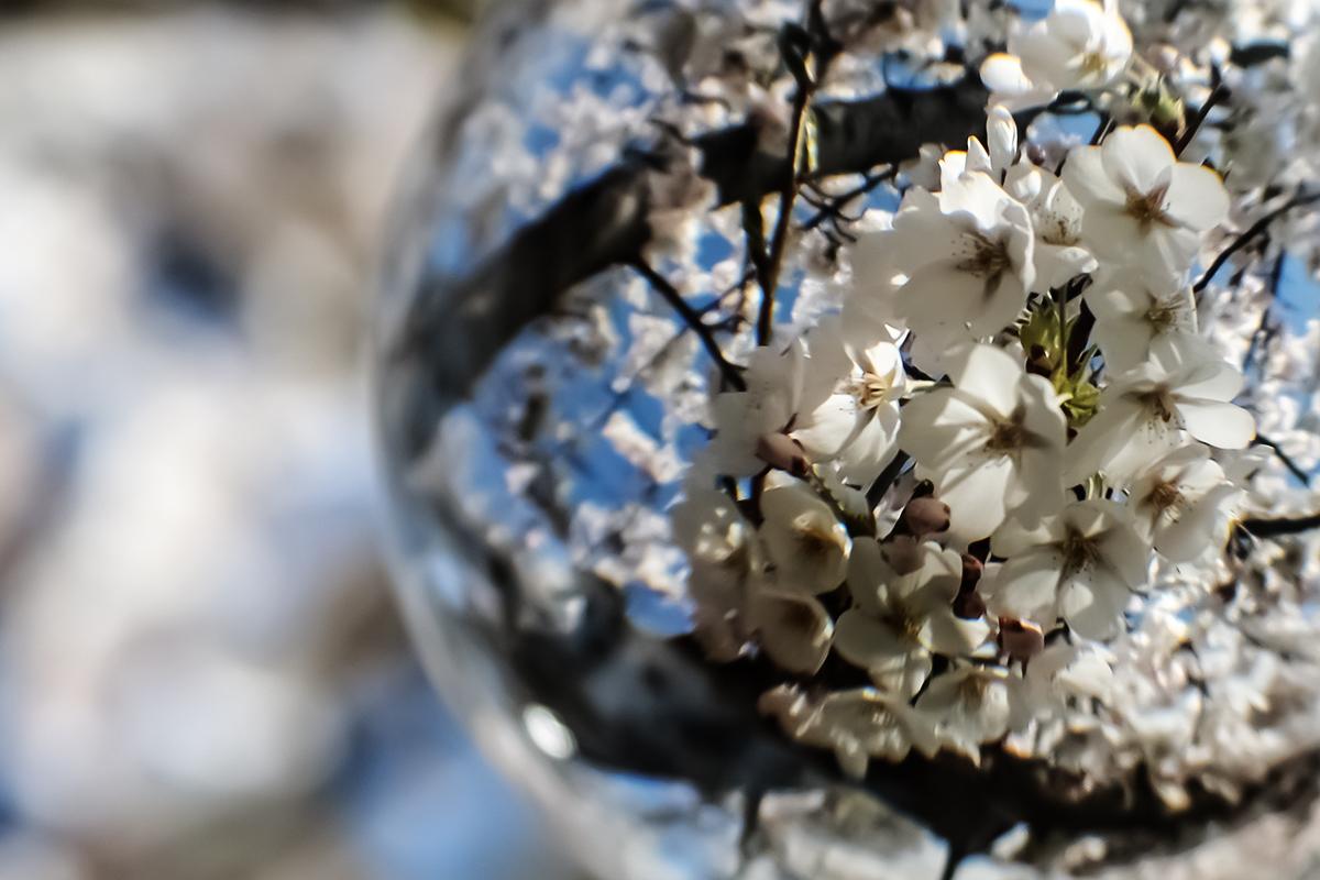 Bildausschnitt Lensball mit Kirschblüten