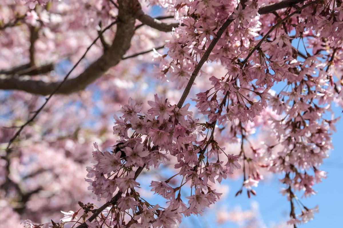 Blühender Zierkirschblütenzweig