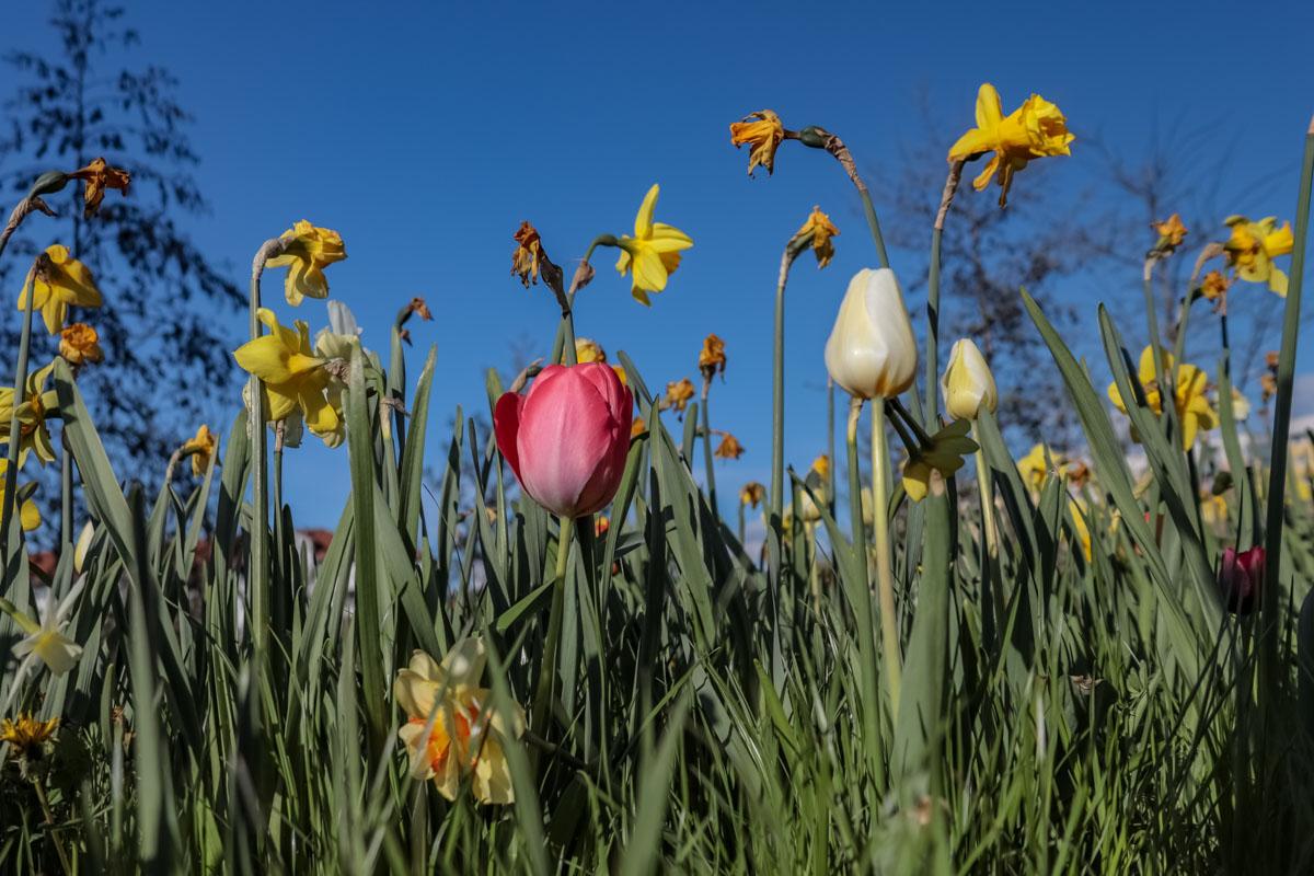 Osterglocken und Tulpen auf der Wiese