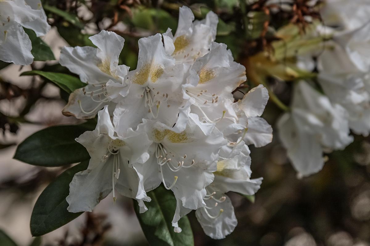 Reinweiße Rhododendronblüten
