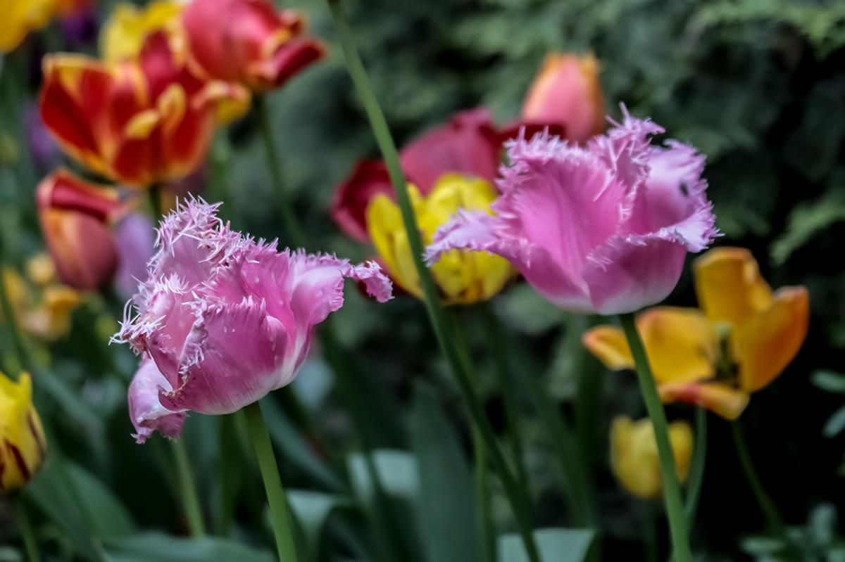 verblühende rosa Tulpen