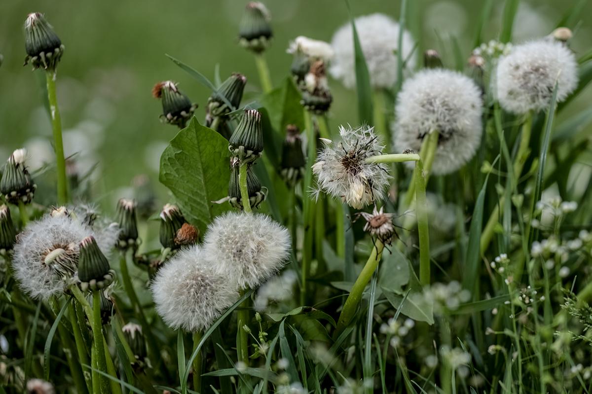 Pusteblumen auf einer Wiese