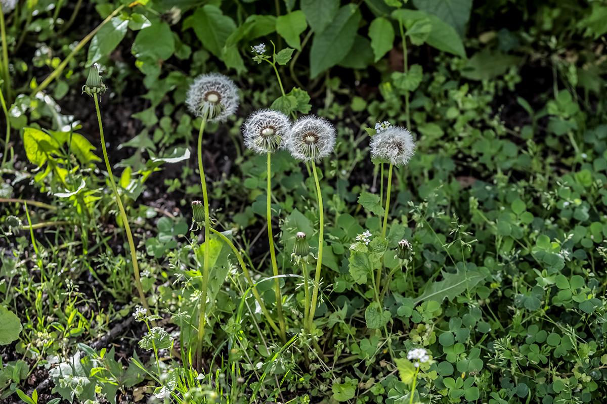 4 Pusteblumen auf einer Wiese