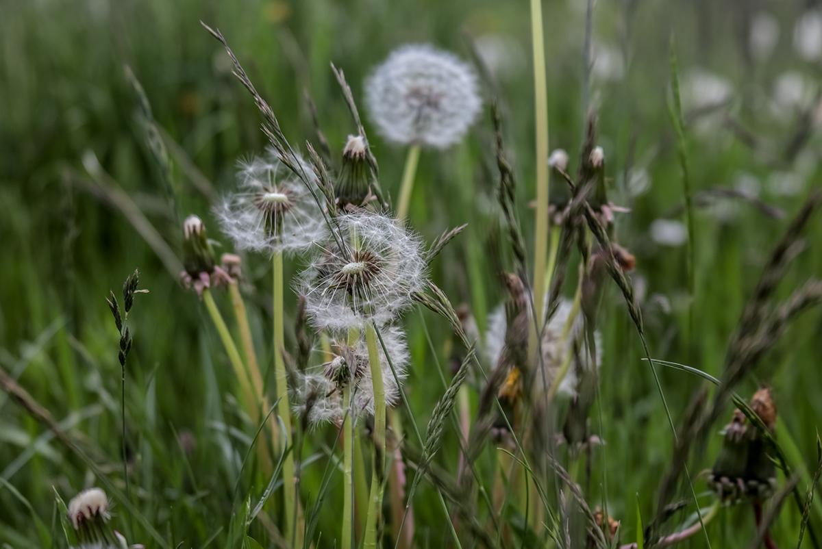 Details von Pusteblumen auf einer Wiese